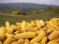 Pšenica u Egipat, kukuruz u Kinu i Indoneziju