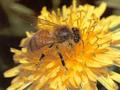 Gubimo 148 miliona evra godišnje zbog izumiranja pčela