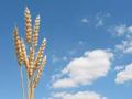 Prinos pšenice i ostalih strnih žita ispod proseka za ovu godinu?