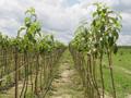 Kako niske temperature utiču na prinos voća