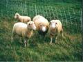 Ovčarstvo u Srbiji u usponu, ali ukupan broj goveda opada