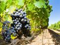 """""""Turski tok"""" kroz vinograde, uništeno stotinu imanja bez obaveštenja"""