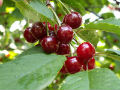 Ovogodišnji rod višnje u nekoliko voćnjaka skoro je prepolovljen