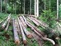 Proizvodnja šumskih sortimenata manja za 16,5 odsto